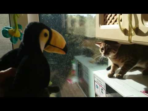 Egyptian Mau hissing at the toy bird