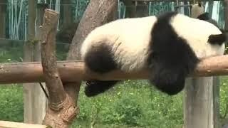 Милые панды в зоопарке города Чунцин