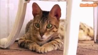 Порода кошек Серенгети