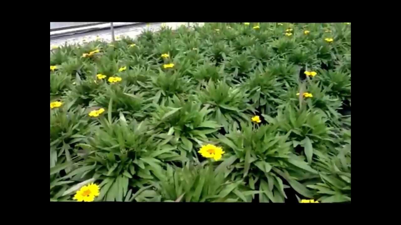Best Flowering Perennials Coreopsis Little Sundial Tickseed