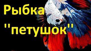 Рыбка ''Петушок'' Содержание и уход за ними