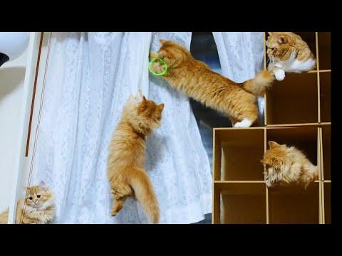 子猫がカーテンにジャンプ! ~ Cats jumping at the curtains ~