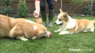 Queen's Diamond Jubilee: Queen's Corgi Breeding Unparalleled