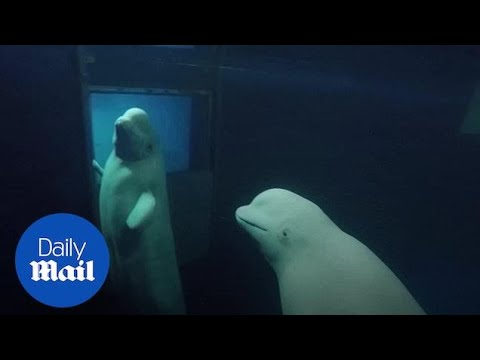 Beluga whales Little White and Little Grey freed in world's first open-sea sanctuary