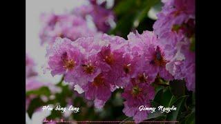 Hoa bằng lăng - Jimmy Nguyễn