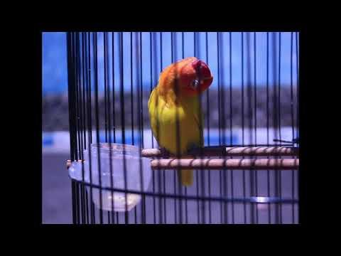 lovebird merdeka ngekek gacor, super gacor, bunyi sampek teler. konslet lovebird