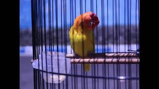 Download Video lovebird merdeka ngekek gacor, super gacor, bunyi sampek teler. konslet lovebird MP3 3GP MP4