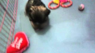 Shih Tzu Rescue Puppy Loves Her Playpen