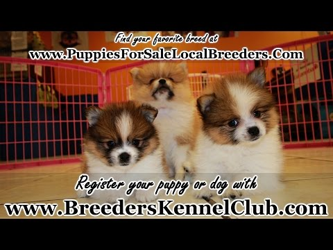 BROWN AND WHITE POMERANIAN PUPPIES FOR SALE IN GEORGIA LOCAL BREEDERS