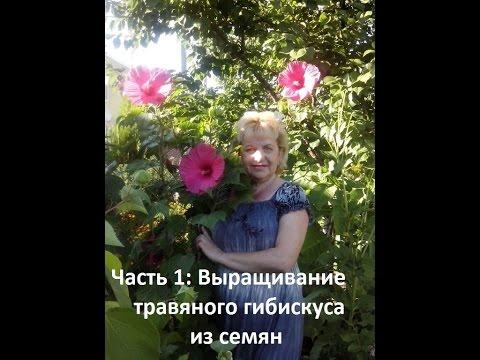 ТРАВЯНИСТЫЙ ГИБИСКУС ИЗ СЕМЯН Часть 1
