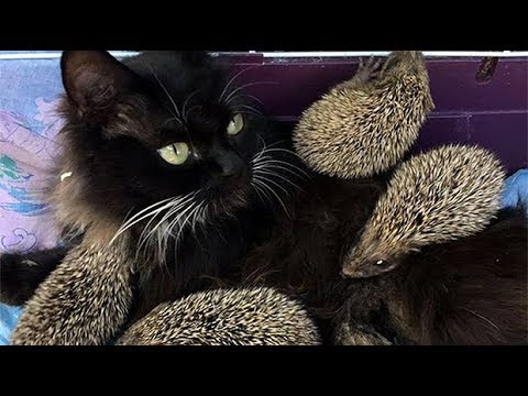Cat becomes wet nurse to eight orphaned hedgehogs in Russia