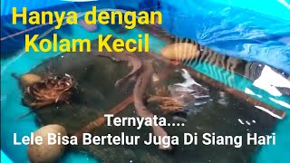 Download Video Proses Bertelurnya Lele Saat Pemijahan MP3 3GP MP4