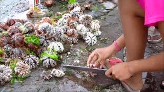 The poor in Dumaguete harvesting Sea Urchins ~ Dumaguete Boardwalk ~ Philippine Tourism