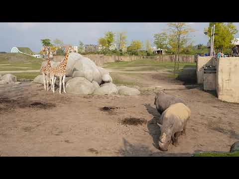 Southern white rhinoceroses and Baringo giraffes in African savanna enclosure