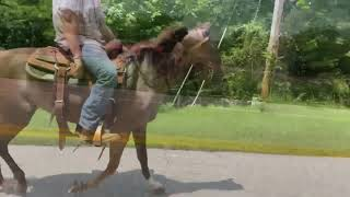 Reese well gaited Rocky mtn pony for sale