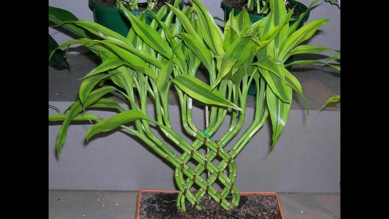Dracaena dracaena plant care youtube for Tronchetto pianta