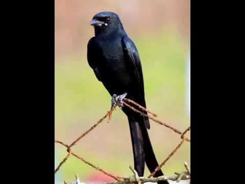 Mobile Ringtone Bird [Drongo (black) 1 SMS]