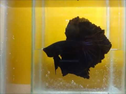 Sweet dream black betta fish youtube for Dreaming of fish