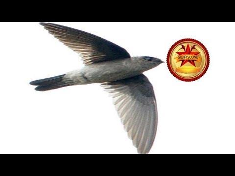 Original Test Sound Calling Swallow - Free Testing Sound Swiftlet 168 2020