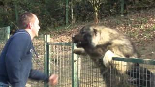 Kavkaski ovčar Green Hill Dog Amon