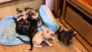 Ориентальные котята играют