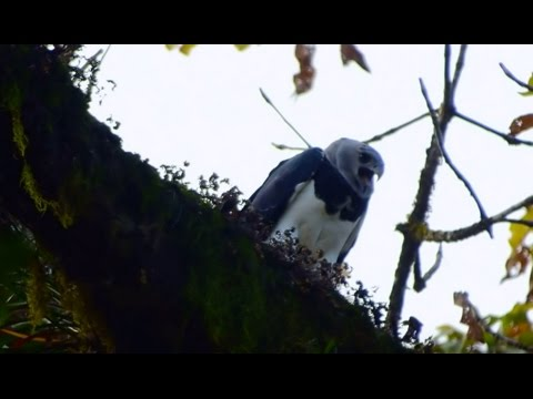 HARPY EAGLE DARIEN PANAMA