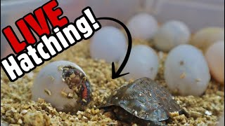MY TURTLE IS HAVING BABIES!!! (CUTE)