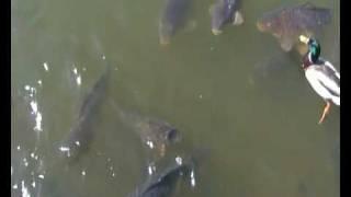 Loads Of Massive Carp Feeding On The Surface