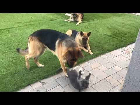 Russian blue cat with 3 GS Dogs
