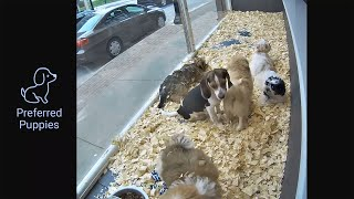 Preview of stream Preferred Puppies Window Cam