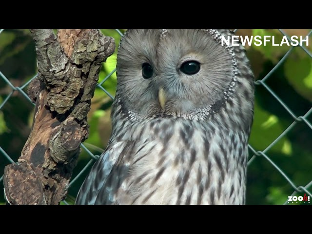 Three New Ural Owls At Swiss Zoo Reintroducing The Species After They Were Extinct In Austrian Alps