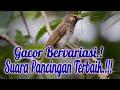 Masteran Burung Rengganis Gacor  Mp3 - Mp4 Download