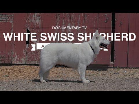 WHITE SWISS SHEPHERD: ALL ABOUT HERDING