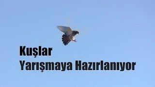 Gambar cover Taklacı Güvercin Oyun Kuşu Videosu - Mardinli Mehmet
