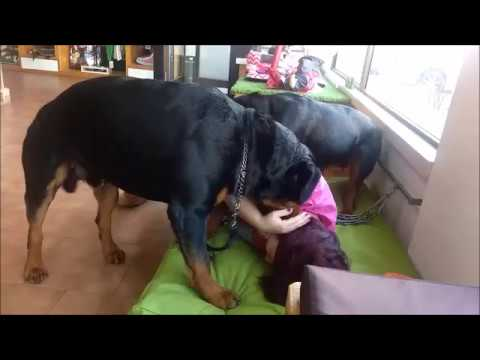 Dirty Dog - Rottweiler attack