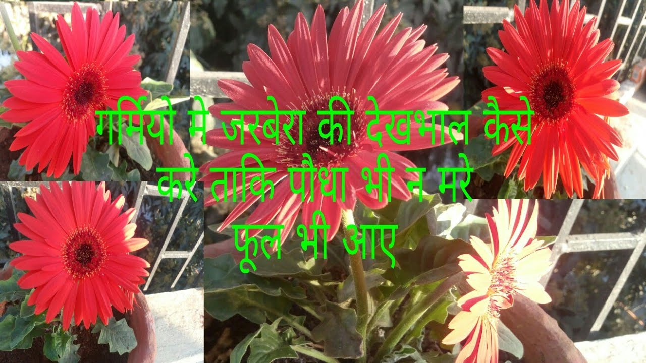 253care tips for gerbara plants for flowers survive in summer 253care tips for gerbara plants for flowers survive in summer hindi urdu izmirmasajfo