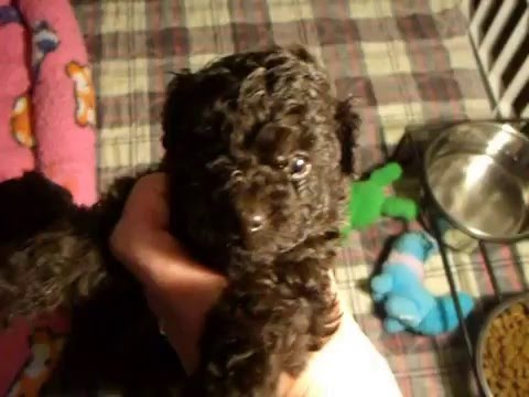 Tiny Chocolate Brown Toy Poodle Puppies