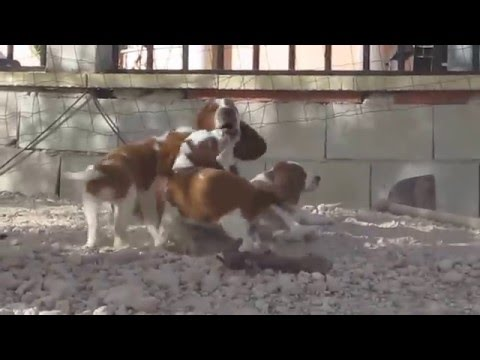 Storm playing with his welsh springer spaniel puppies