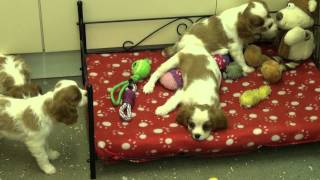 Little Rascals Uk Breeders New Litter Of Pedigree Cavalier King Charles Spaniels
