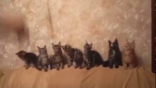 Maine Coon Kittens Playing Котята играются в питомнике-FOREST LYNX, Киев, Украина