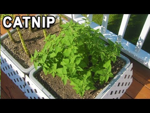CATNIP Container Grown HARVEST And CAT Reactions How To Grow And Dry Bubblebeet Garden Start Seeds