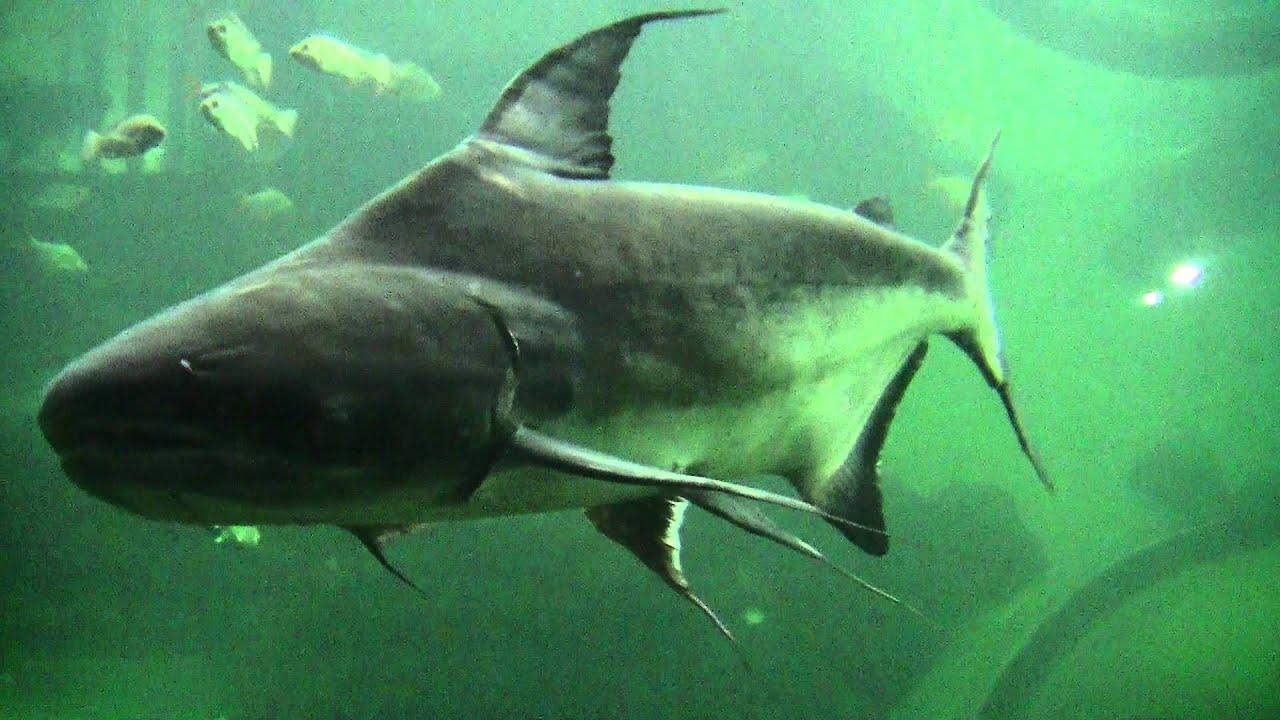 mekong catfish aquarium
