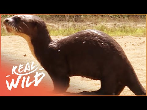 Mission: Giant Otter [Otter Sanctuary Documentary] | Wild Things
