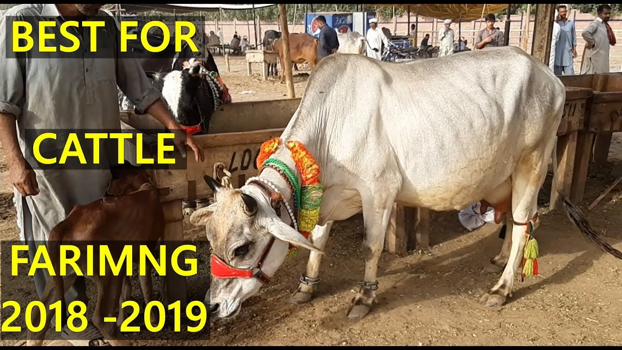 Sahiwal Cow - Australian Friesian Cow in Lahore Cow and Bakra Mandi BEST  FOR CATTLE FARMING (2019)
