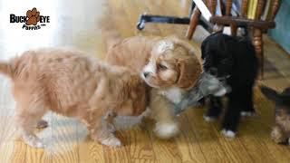 Cavapoo Puppies