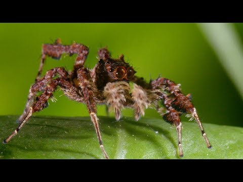 Jumping Spiders Three Superpowers