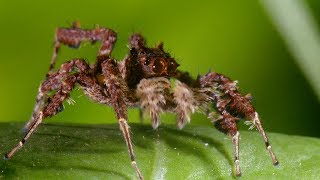 Spider_With_Three_Super_Powers_|_The_Hunt_|_BBC_Earth
