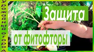 видео Как предупредить томаты от болезней