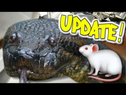 ANACONDA UPDATE AND FEEDING HUNDREDS OF SNAKES!!! Brian Barczyk