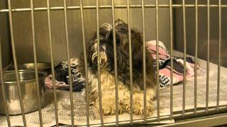 Moses - Young Male Shih Tzu - Mahoning County Dog Pound - Youngstown Ohio